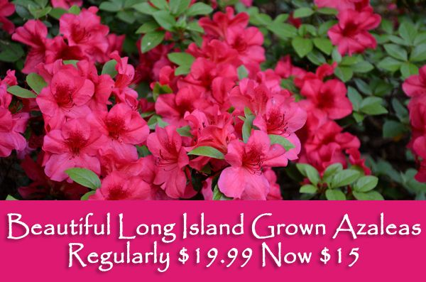 Long Island Grown Azaleas