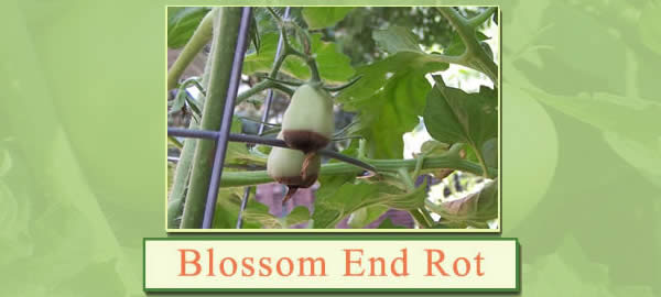 blossomendrot