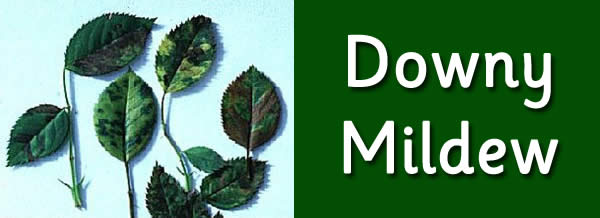 downymildew