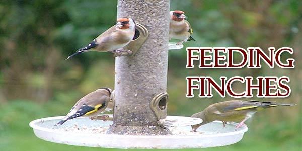 Feeding Finches