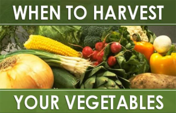 When to Harvest Your Vegetables