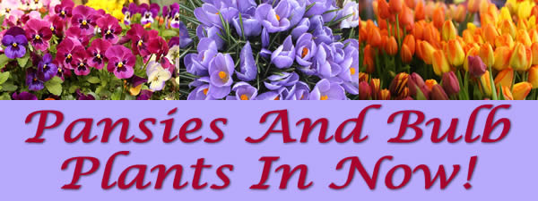 pansies and bulb plants in